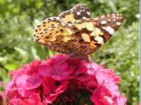 naturfotos-blumengarten-schmetterling-150