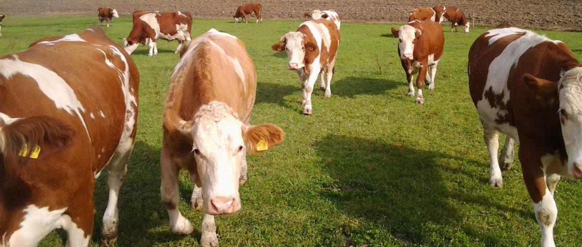 Bayerischer Wald Bauernhofurlaub in Patersdorf - Kühe auf der Weide
